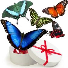 Живые тропические бабочки с размахом крыльев 10-13 см